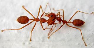 Alasan Mengapa Semut Berhenti Sejenak Ketika Bertemu Semut Lain [ www.Up2Det.com ]